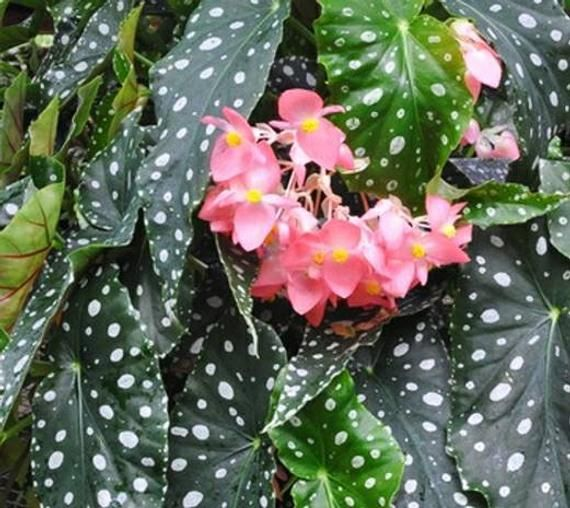 Pin By Amy Rempher On Completedpins Begonia Variegated Plants Begonia Maculata