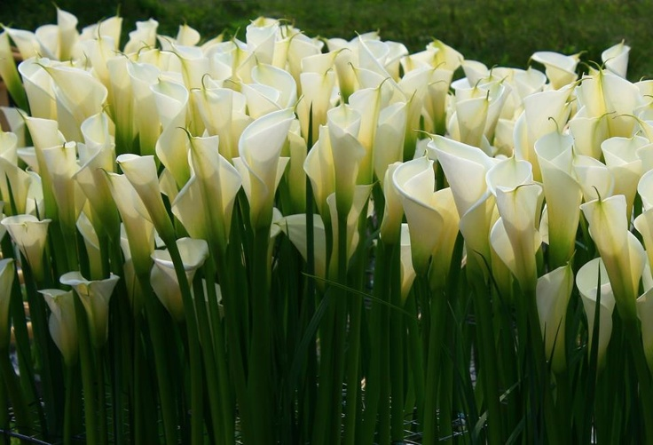 Callas are ideal flowers for wedding