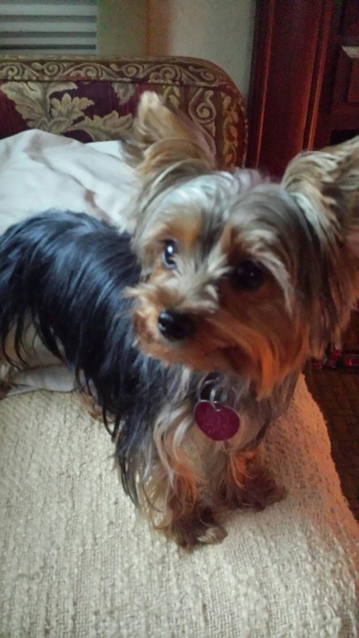 290 best Yorkies images on Pinterest | Animals, Yorkies and Puppies