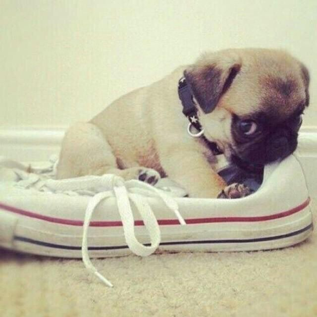 Baby pug converse