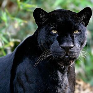 Collection of interesting and fun panther facts for kids. Read loads of interesting facts about panthers, and panther facts for kids in facts.net.