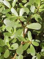 Kövér porcsin  (Portulaca oleracea)  Omega-3 zsírsavakban igen gazdag növény, különösen Alfa-Liposavban, amely vízben és zsírban is oldódó antioxidáns, ezért könnyen bejut a sejtekbe, ahol hatékonyan leköti az ott lévő szabad gyököket. Egy csésze porcsin levél elfogyasztásával 3-400 mg ALA kerül a szervezetünkbe.  Magas C- és E-vitamin, valamint béta-karotin és glutation tartalmának köszönhetően immunerősítő hatást fejt ki. Antioxidáns tartalmánál fogva, lassítja az öregedés folyamatát.