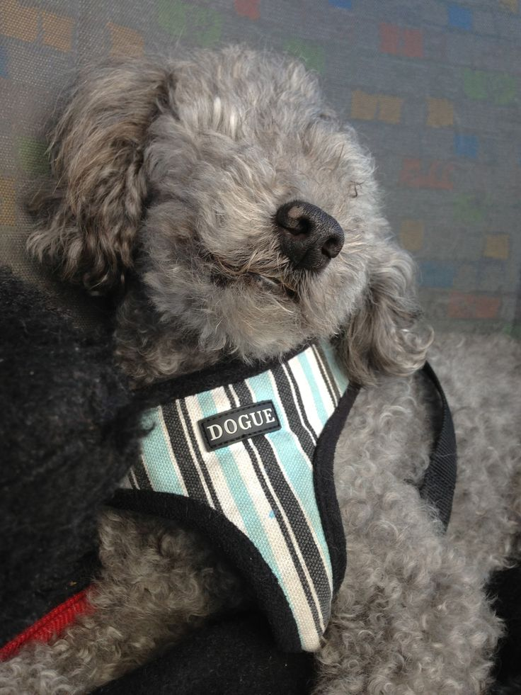 Here he is, strapped in with his little 'Dogue' harness in the car, where he spent a lot of time travelling with me on our road trips. He was my muse and my friend.