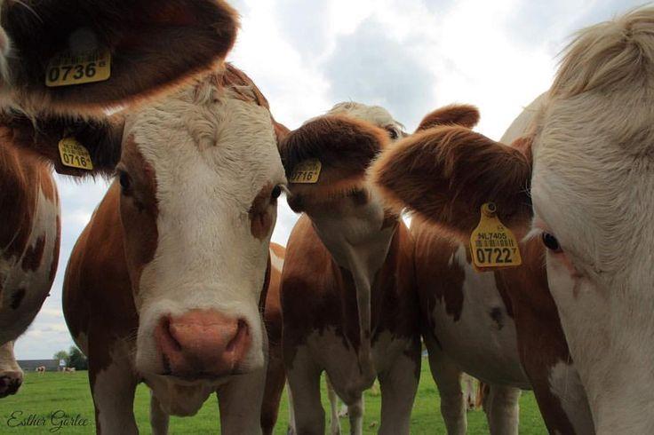 64 vind-ik-leuks, 3 reacties - My first Canon (@my_first_canon) op Instagram: 'Curious???? 🐮 #photography #canon #cows #koeien #farmanimals #netherlands #beautifulholland…'