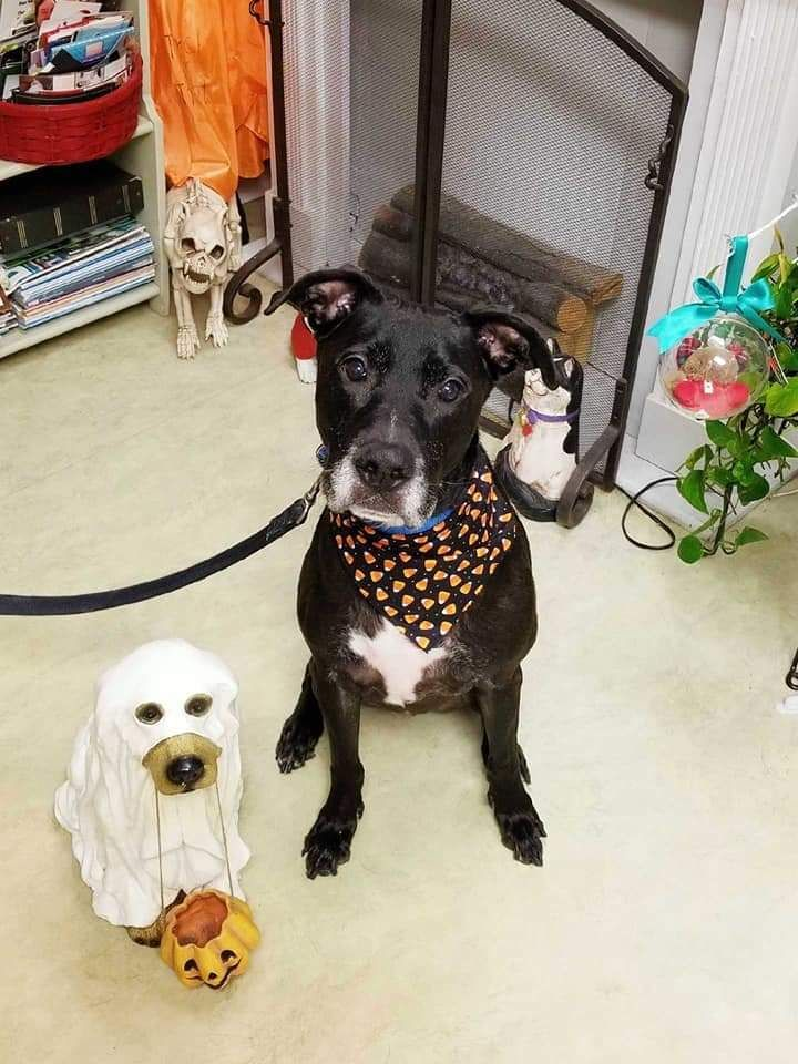 Adopt Black Max On Pet Adoption Animal Rescue Labrador Retriever Dog