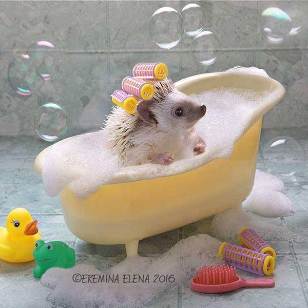 トゲトゲのついた小さな体に、黒々としたまん丸お目目がキュートなハリネズミ。 ロシア在住のEremina Elenaさんは、そんなハリネズミの愛くるしさを余すことなく写真に収めている一人です。 ・ハリネズミの可愛さ全開! Ereminaさんの作品は、被写体のハリネズミたちがお風呂に入っていたり、絵を描いていたり