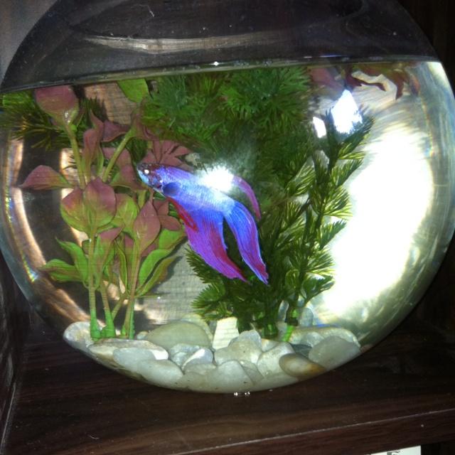 Purple fish siamese fighter fish pinterest purple for Purple betta fish for sale