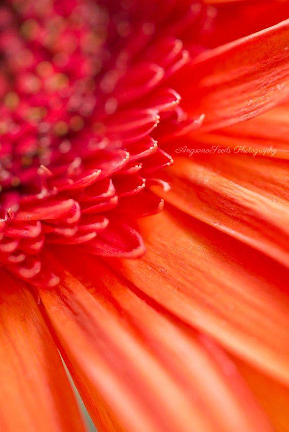 Brilliant Orange Flower photo Gerbera Daisy by AngsanaSeedsPhoto, $40.00