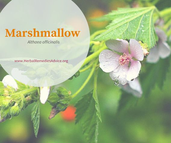 Marshmallow is known primarily as a demulcent that is specific to the mucous membrane tissues. Because of its thick and slimy brew you can easily imagine that it is used to soothe and coat irritated tissues. Mouth ulcers, sore throats, peptic ulcers, and inflamed intestines all get relief from this gooey brew.