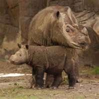 Sumatran Rhinoceros #wild #animals