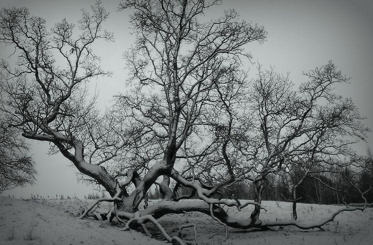 Tree near  Mitford, Northumberland