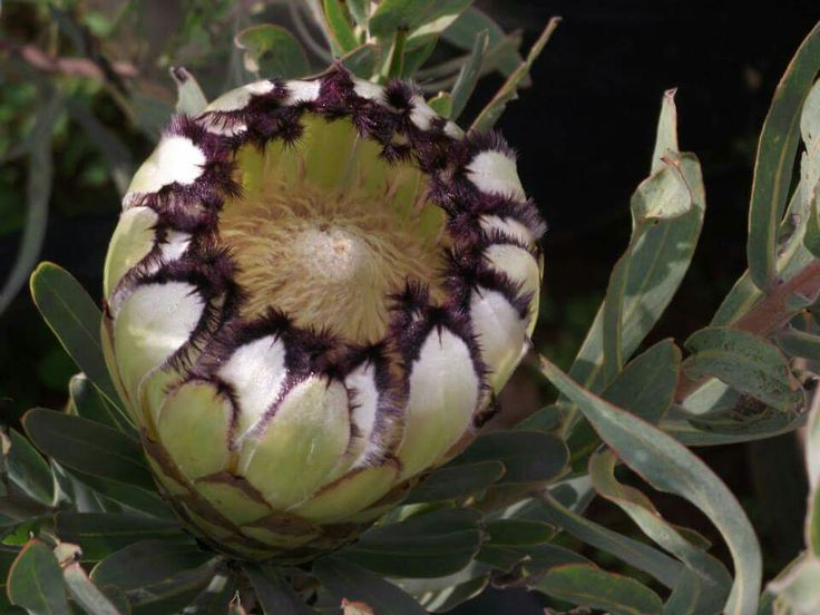 Green protea
