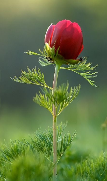 Fern-leaf Peony: Paeonia [Family: Paeoniaceae]