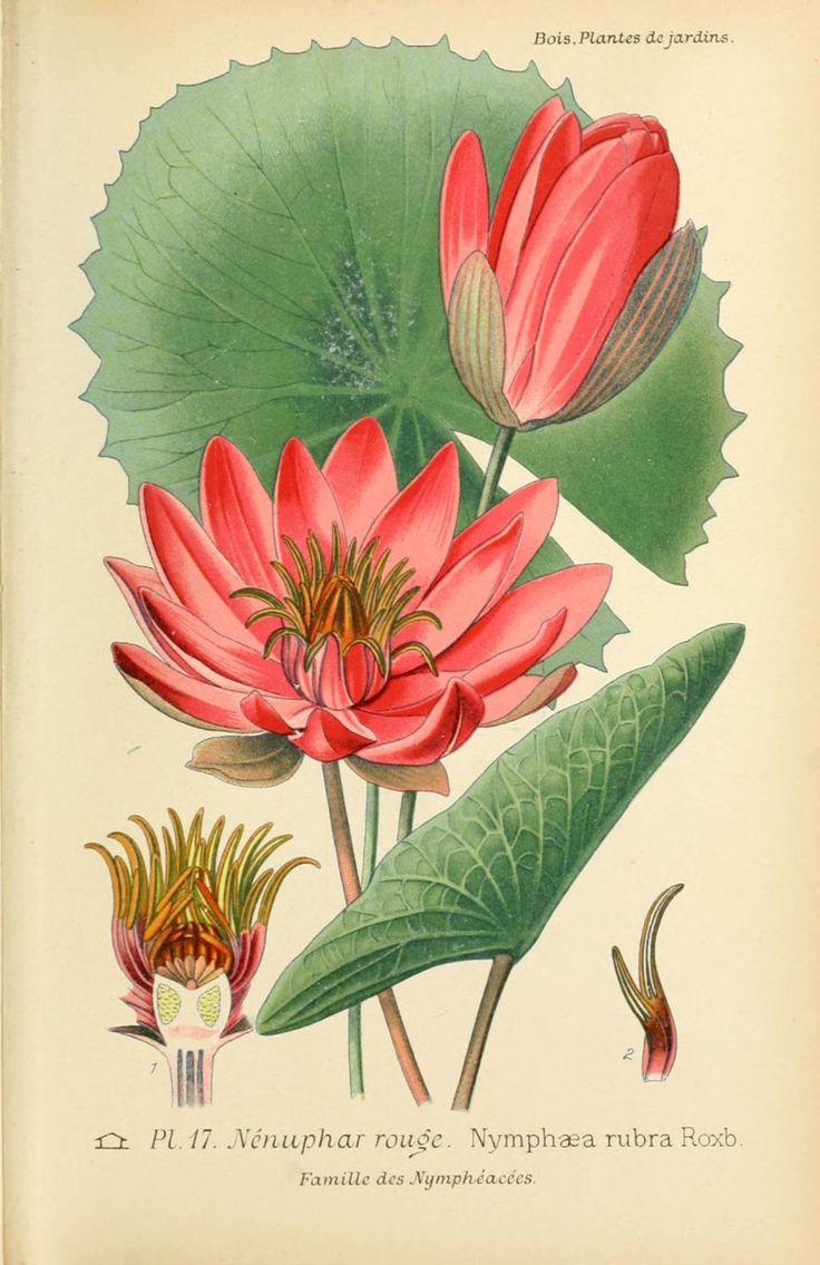 """Nenuphar rouge  (nymphea rubra) Dessin-gravure de fleur d'après """"Atlas des plantes de jardins et d'appartements exotiques et européennes"""" par D. Bois - Paris 1896"""