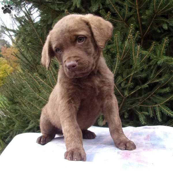 Picasso Chesapeake Bay Retriever Puppy For Sale In Ohio