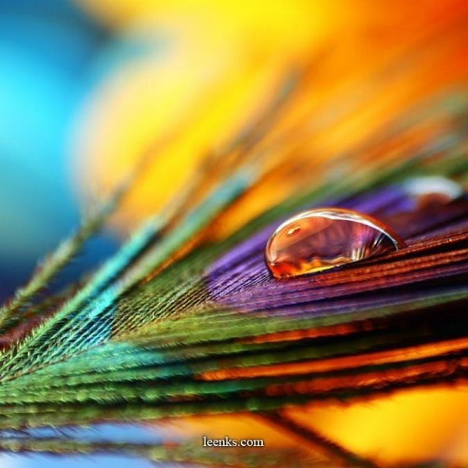 Refraction and Reflection - Water drop on a peacock ...
