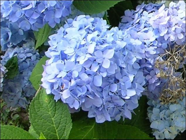French Hydrangea for Gardens in North and Central Florida -- Figure 1. The mophead flower of 'Decatur Blue' in its blue form.