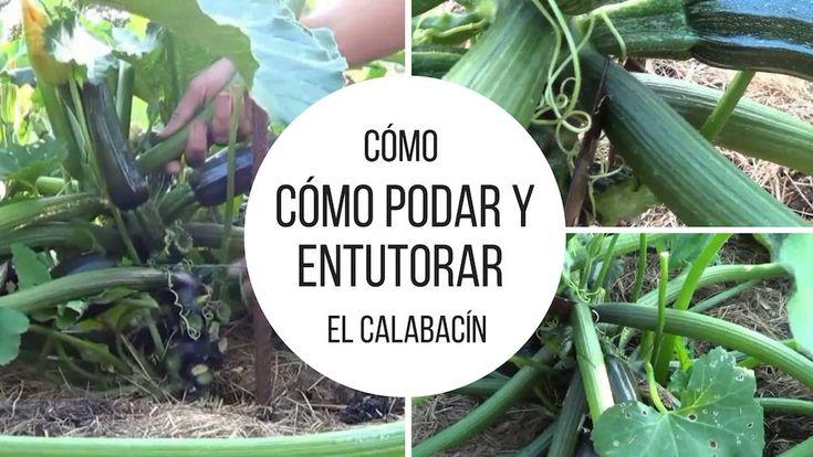 Cómo podar y entutorar el calabacín.  Para quien tenga huertos pequeños o quiera disponer de más espacio para cultivar otros vegetales, vamos a ver como cultivar calabacín de forma horizontal.