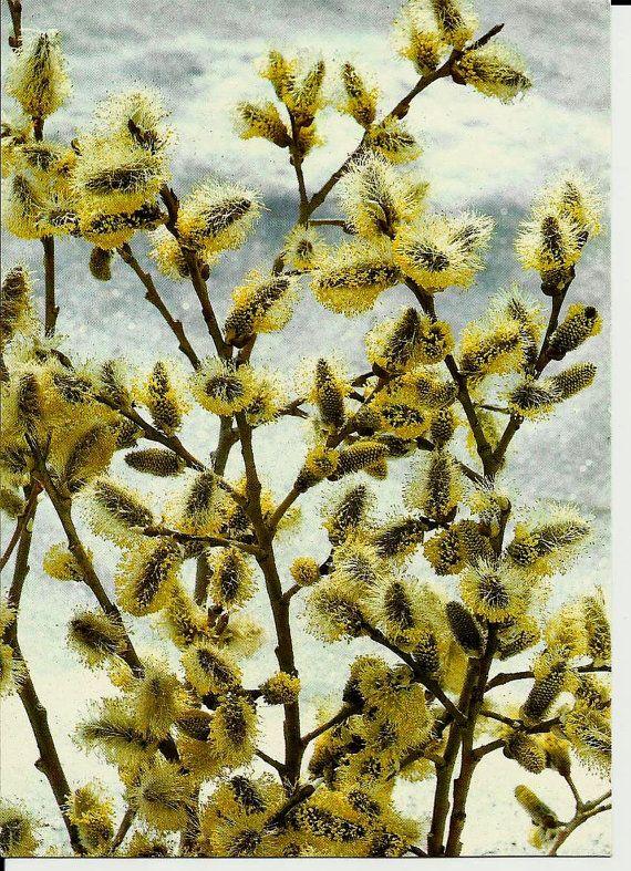 Spring Tree  Vintage Russian Postcard unused by LucyMarket on Etsy, $2.99