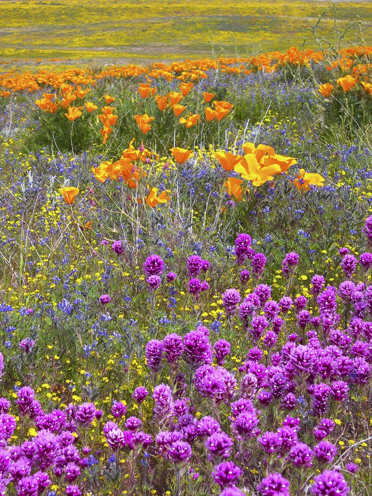 California Poppies and other wildflowers in a wet year at the Antelope Valley Poppy reserve.