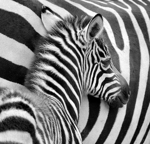 """ZEBRA Foal        The Chambers Dictionary of Etymology states that the word zebra was found in Portuguese and Spanish, meaning """"wild ass"""", before the Portuguese applied it to zebras in the 1500's.      Although zebra species may have overlapping ranges, they do not interbreed      Their stripes come in different patterns unique to each individual.      They are generally social animals that live in small harems to large herds."""