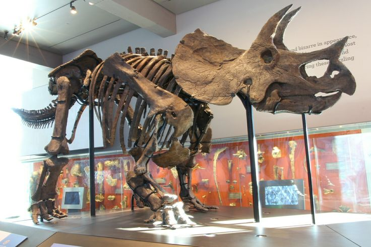 Triceratops sp. au LACM. Photo : Heinrich Mallison.