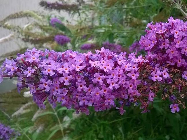 nyári orgona virágzat