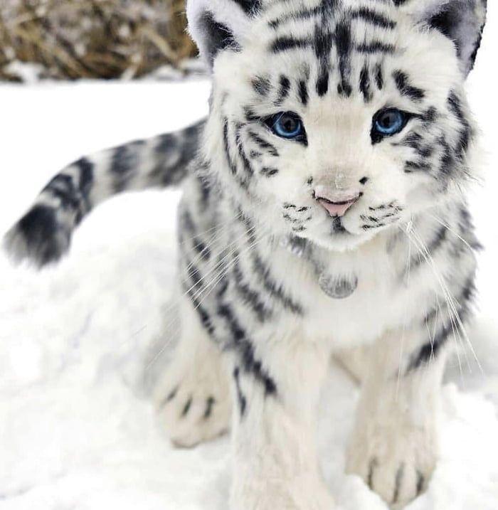 Seltener weißer Babytiger   – Animals