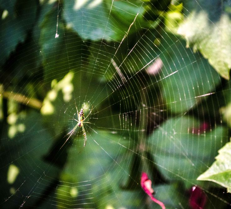 """The Spider - Press M for better view.  """"THE NEXT TIME YOU SEE A SPIDER WEB,PLEASE,PAUSE AND LOOK A LITTLE CLOSER. YOU'LL BE SEEING ONE OF THE MOST HIGH-PERFORMANCE MATERIALS KNOWN TO MAN"""".  Cheryl Hayashi."""