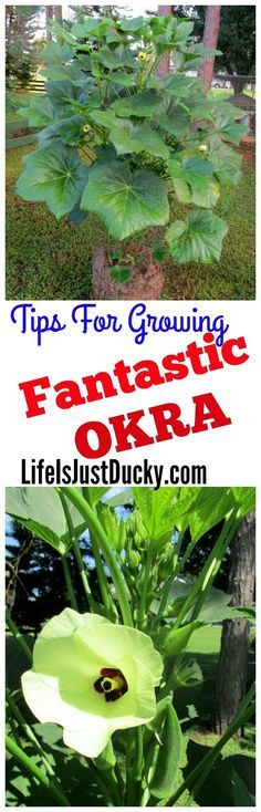 Gardening Tips For Growing Fantastic Okra - Growing okra is simple once you know a few tips. Once you know the healthy okra benefits and how easy it is to grow in your organic vegetable garden. You will want it in yours. Easy enough for beginners.  Okra is used in so many recipes from pickled okra to gumbo and even stuffed okra flower. | Life Is Just Ducky