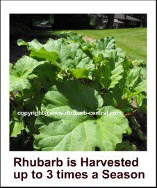 Harvesting Rhubarb   When and How To   Harvest (Pick) Rhubarb Stalks
