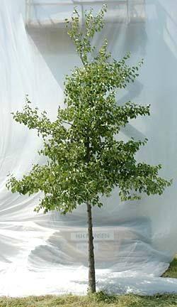 Alnus cordata - Hjertetræ