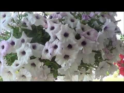 Petunias care, growing petunia flowers. - YouTube