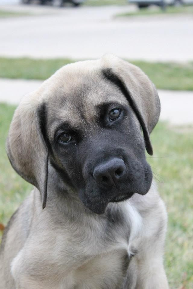 American Mastiff puppy. I will get one of these also ...