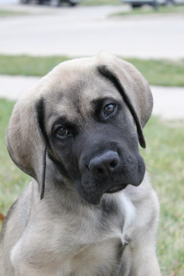 #Mastiff #puppy