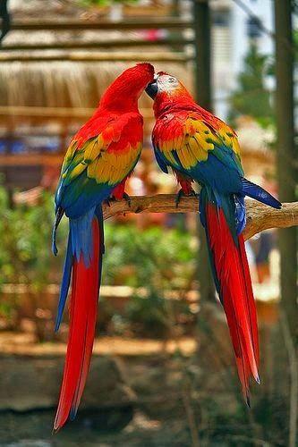 our-amazing-world:  Kissing Parrots - Cu Amazing World beautiful amazing