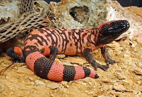 Gila monster (Heloderma suspectum) - LEANING AGAINST A SKULL PERHAPS?  In the desert of Judea I was born and raised.