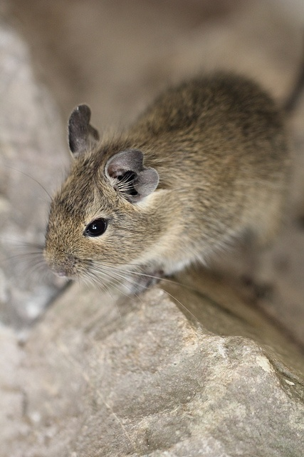Mountain Degu (Octodontomys gliroides) is a species of rodent in the family Octodontidae. It is monotypic within the genus Octodontomys. It is found in Argentina, Bolivia, and Chile.