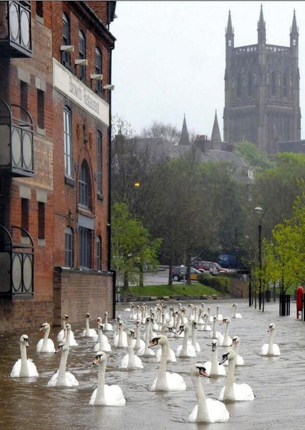 Swans float down the street in flooded Worcester, UK (making the best of any situation!)