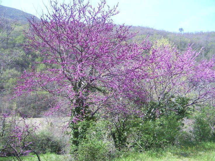 Chi in questi giorni transiterà per la Valnerina, non potrà fare a meno di notare la meravigliosa fioritura primaverile del cercis siliquastrum, meglio conosciuto come Albero di Giuda. Immaginate una nuvola di colore rosso-lilla che copre ininterrottamente...
