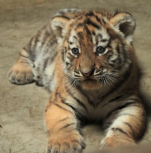 siberische tijger born 20 june 2014 amersfoort IMG_0129 | Flickr - Photo Sharing!