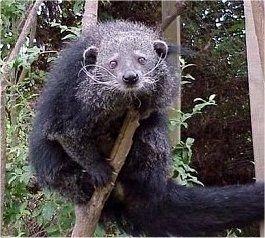 Binturong, a.k.a. bearcat :)