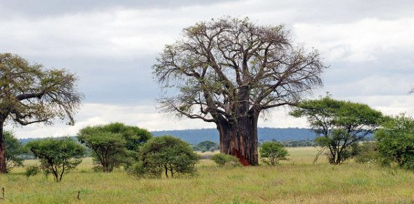 Interesting Facts About South Africa: Baobab Tree