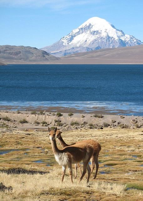 Vicunas, Lago Chungara, Chile