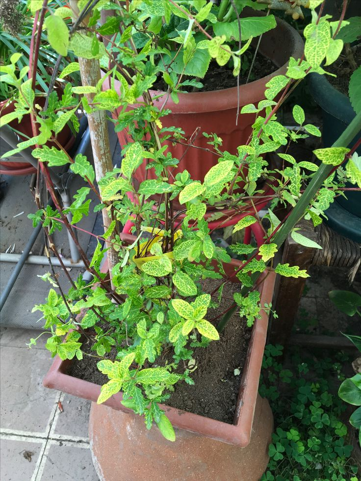 582 mejores im genes sobre mis plantas en pinterest no for Ver fotos de arboles de hoja perenne
