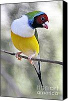 Gouldian Finch Red Headed -white Breasted Mutation Photograph by Raoul Madden - Gouldian Finch Red Headed -white Breasted Mutation Fine Art Prints and Posters for Sale