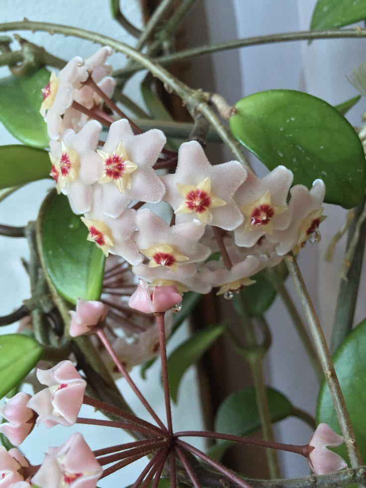 Wachsblume, duftet fantastisch