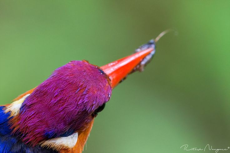 Diffrent Compo..... - Oriental dwarf kingfisher (female Bird) Nandus Place, Chiplun, Mahareshtra, July 2017, Tired Of seeing same ODKF images every were, so tried different composition here. Trying to showcase the back of the head feathers of the bird . Hope you all like it ... Canon 500mm, Canon 1dx, f/8, iso-6400...... Enjoy.........