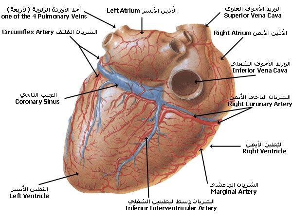 بالصور و الشرح علم وظائف أعضاء جسم الإنسان مع تشريح جسم الانسان Human Body Anatomy Medical Words Body Anatomy