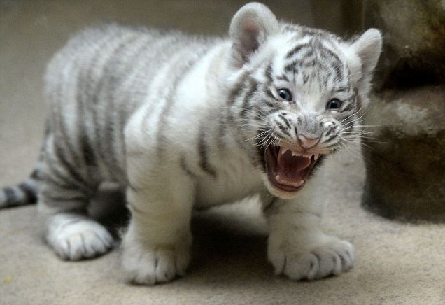 Liberec Zoo's white tiger cub bares its fangs in front of its proud mother in Czech